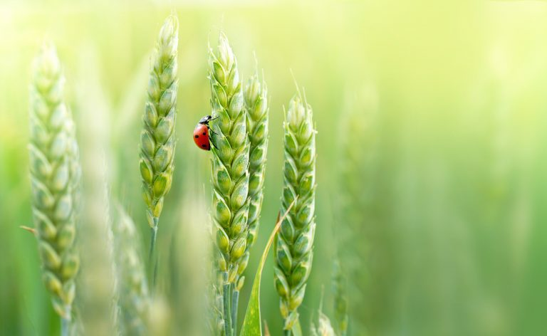 Good tillering for better cereal crops