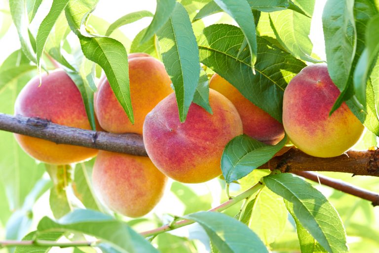 Increase of size and uniformity of fruits