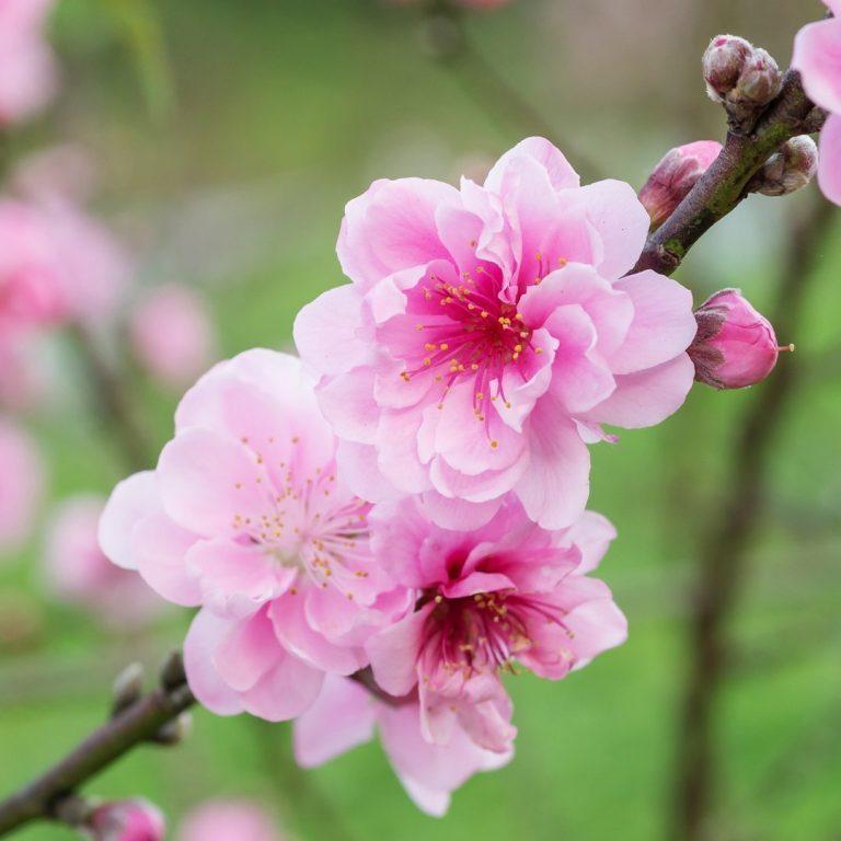 Floración y cuajado: dos fases cruciales para los cultivos arbóreos
