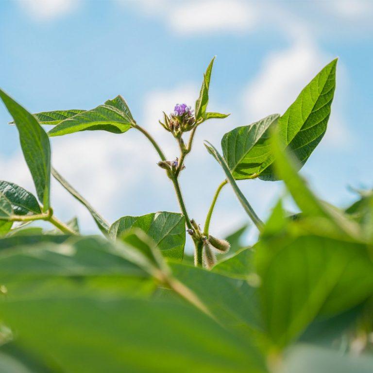 Superar el estrés por herbicidas en cultivos extensivos